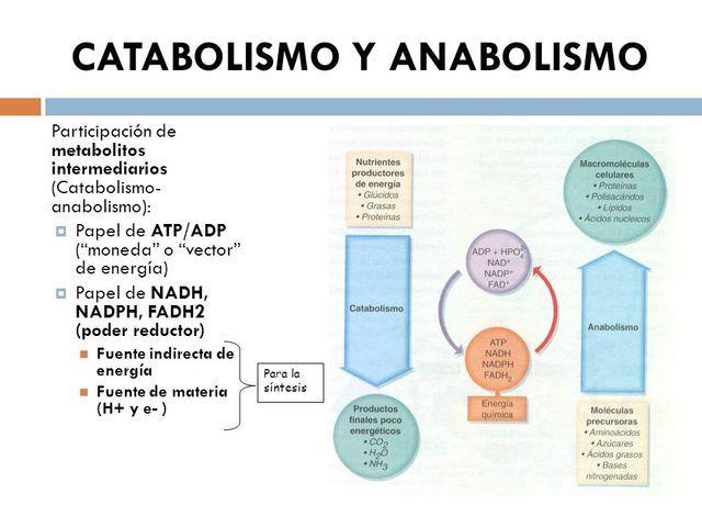 Ciclo natural del anabolismo y catabolismo.