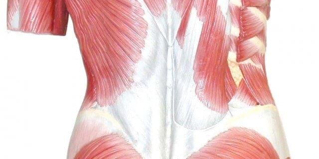 Musculatura tónica y fásica