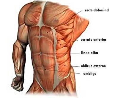 anatomia-abdominal