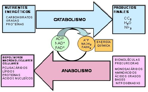 Proceso anabolico