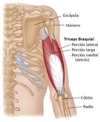 Partes del tríceps