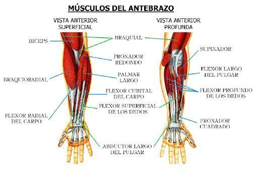músculos de los antebrazos