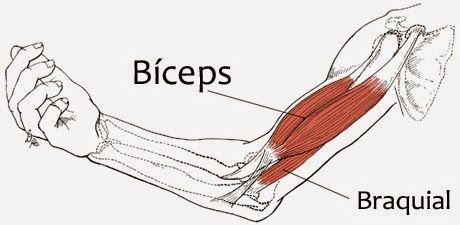 bíceps-braquial