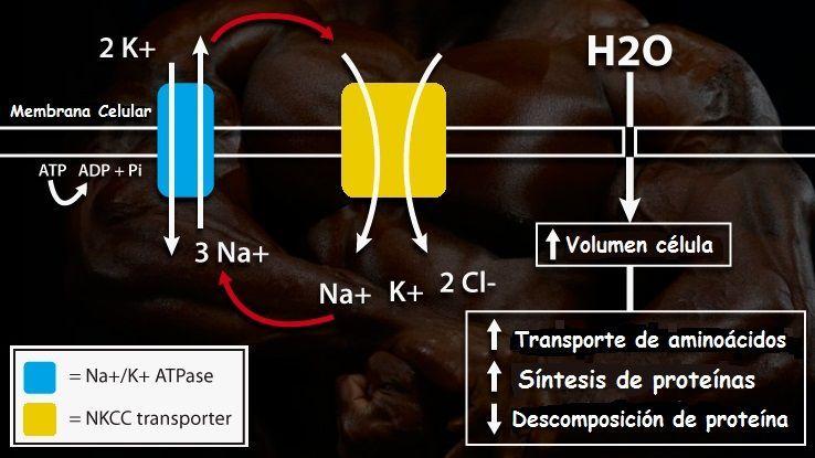 Células y volumen celular