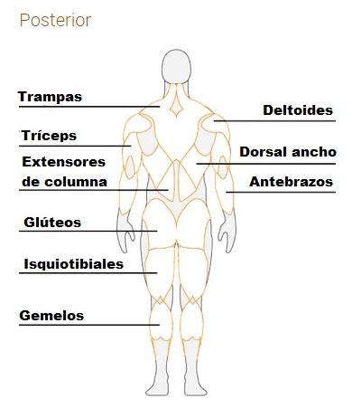 Anatomía del cuerpo humano: Músculos más importantes | Atopedegym