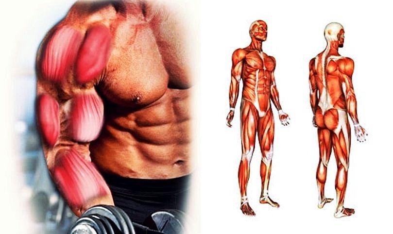 El estímulo muscular: ¿Cómo es posible que un músculo se pueda ...