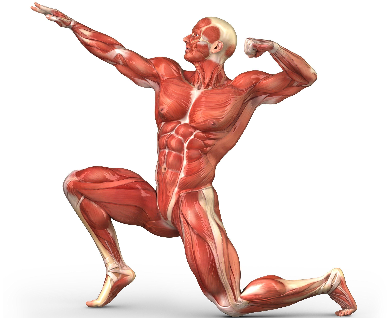 Los distintos tipos de fibras musculares y su predominancia en cada ...