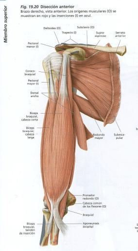 Ejercicios y explicación: Larry Scott y su ejercicio para bíceps ...