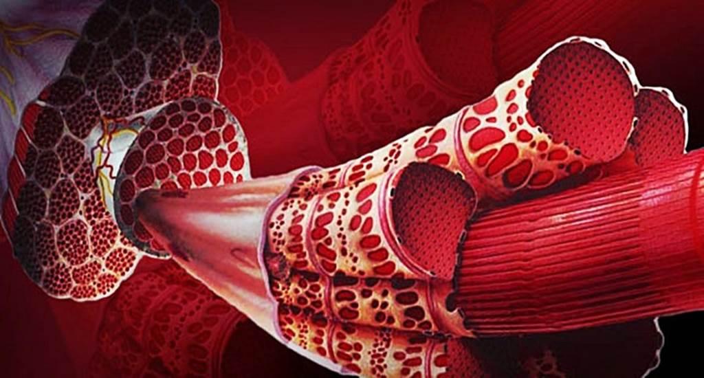 fibras-musculares1