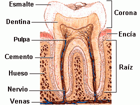 Componentes-diente