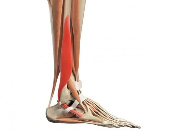 Flexión plantar: función, anatomía, lesiones y tratamiento | Atopedegym