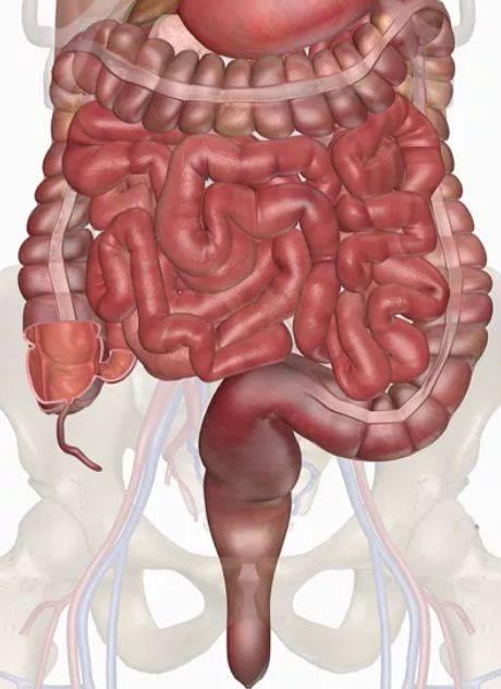 Intestinos del sistema digestivo