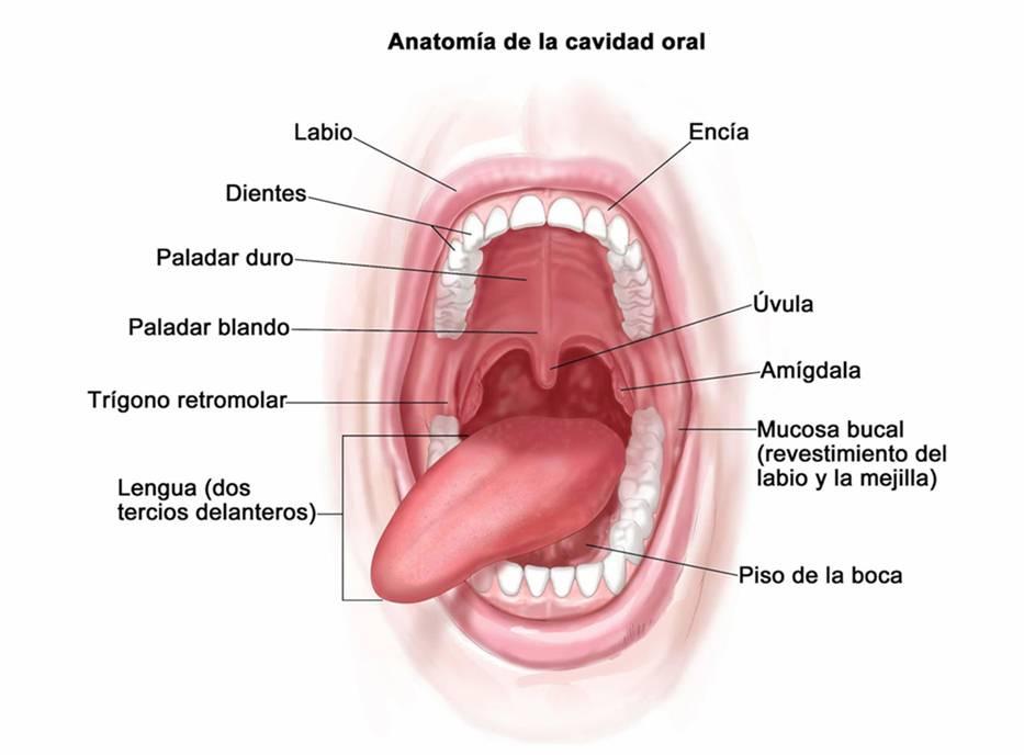 Sistema digestivo - Partes, Funciones, órganos y fisiología | Atopedegym