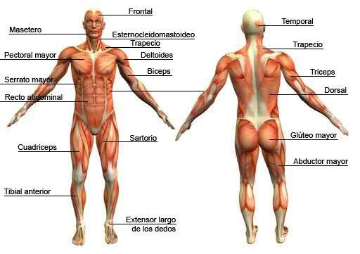 músculos y nombres