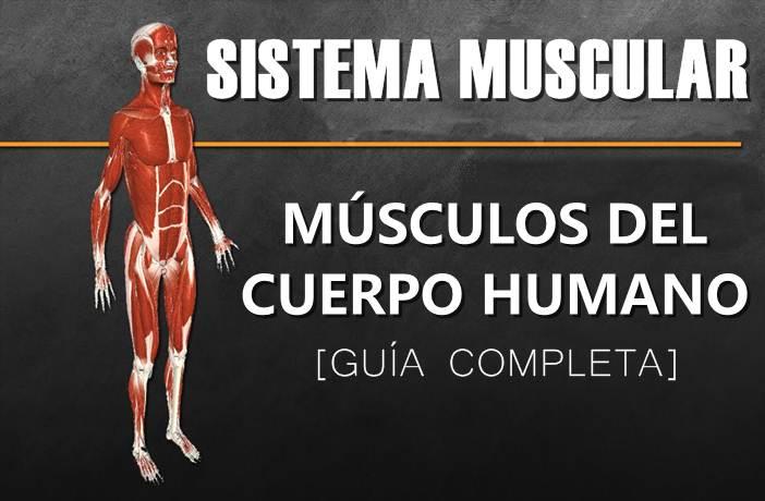 Sistema Muscular - Músculos del cuerpo humano | Atopedegym