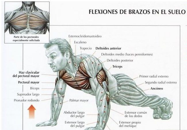 músculos de flexiones de brazos