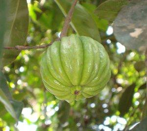 Garcinia cambogia, comúnmente conocida como Brindleberry.