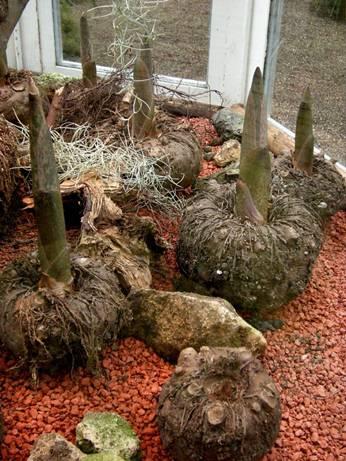 Las raíces de Konjac contienen un montón de glucomanano.