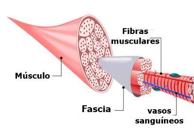 Anatomía del Músculo