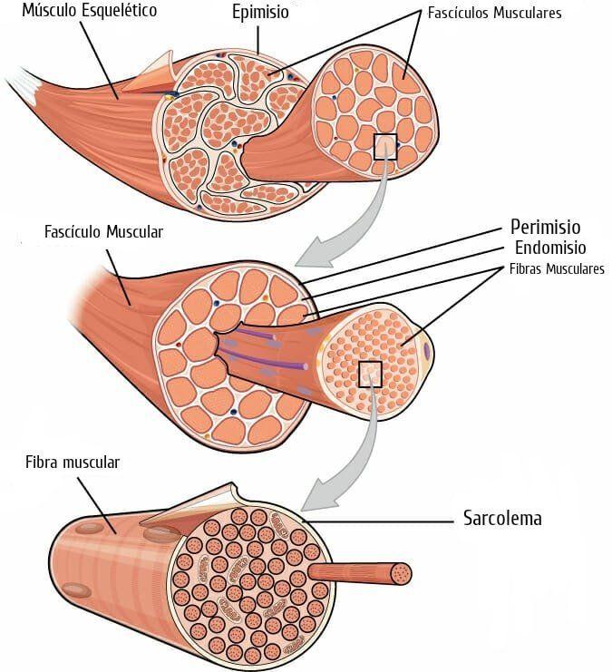Estructura de las Fibras Musculares