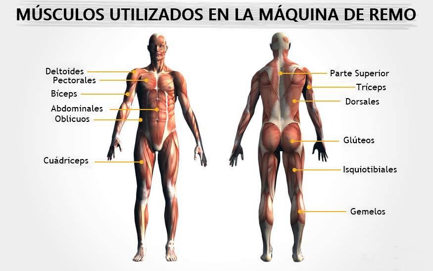 musculos-implicados-en-maquina-de-remo