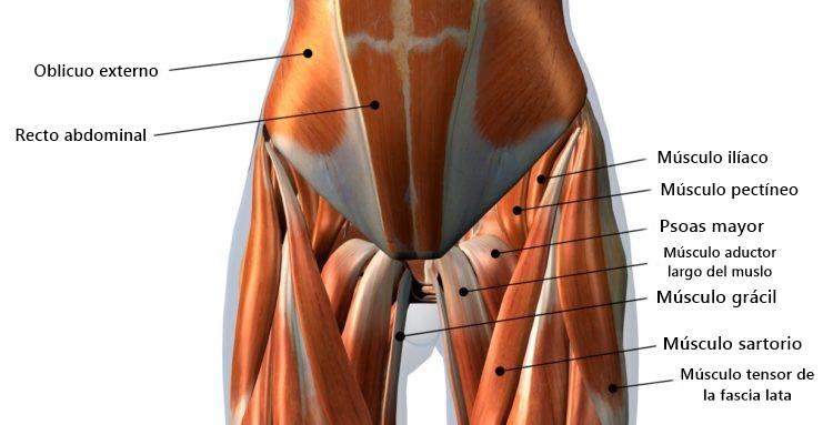 Músculos de los aductores